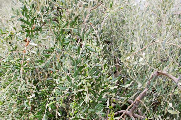Drzewka oliwne rosną wszędzie w okolicy