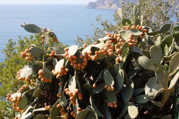 Podstępna roślina o nazwie fico d'India